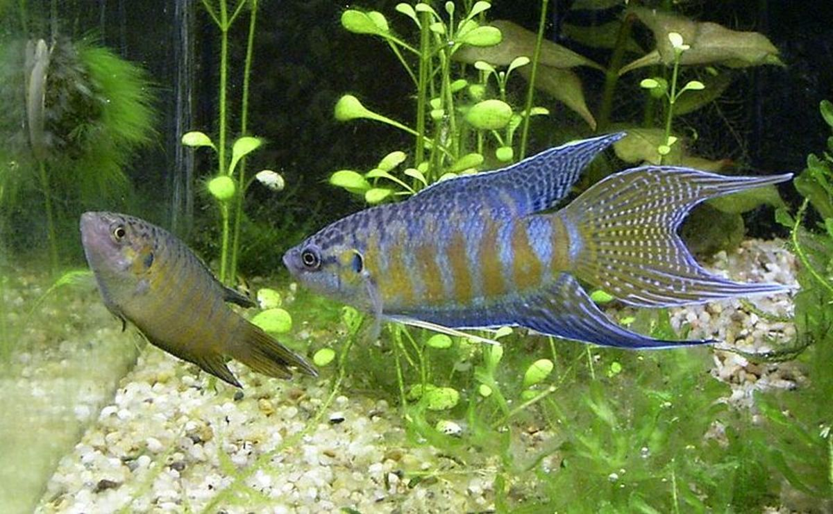 A pair of Paradise fish swimming in a tank.