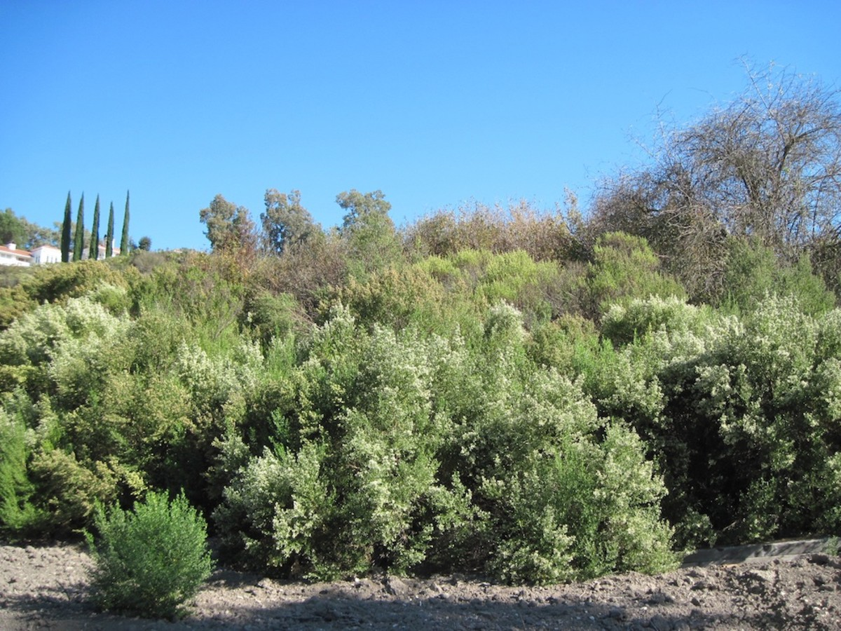 Coyote Brush (or Bush): Is This Plant a Blessing or Curse?
