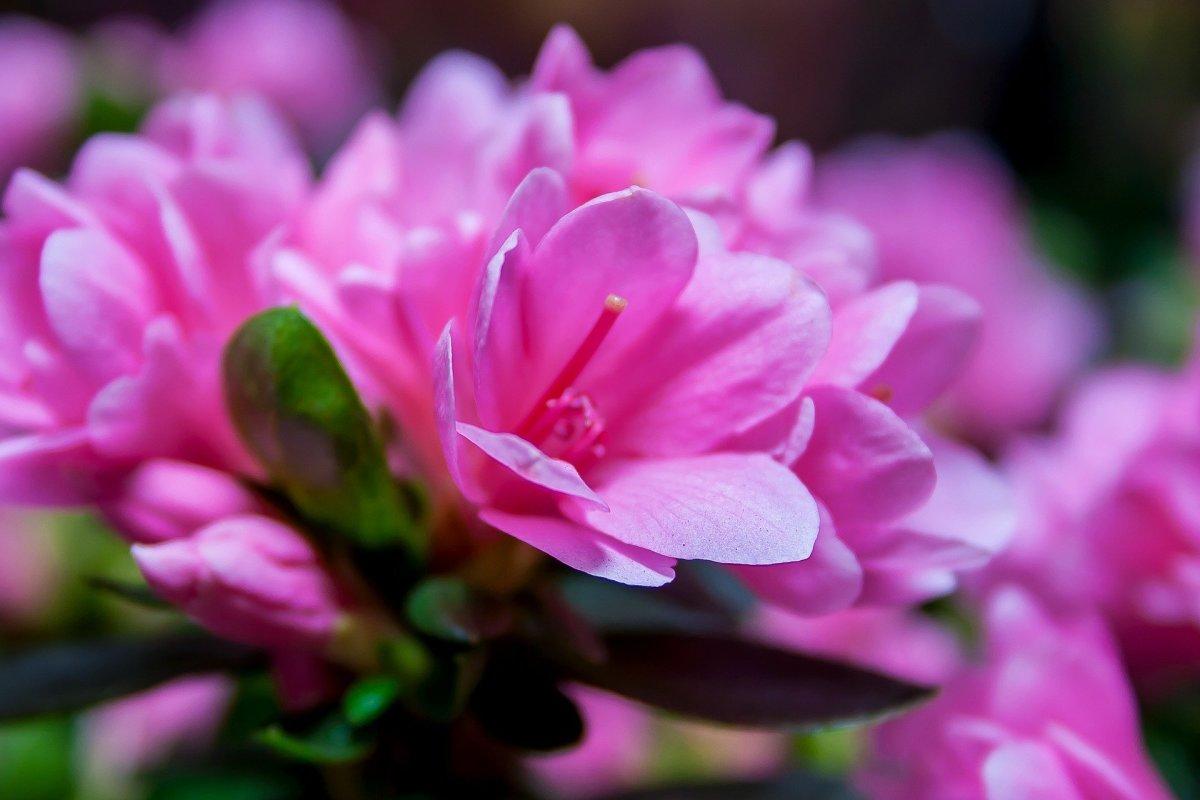 "Rhododendron ""Kirin Pink Beauty"""