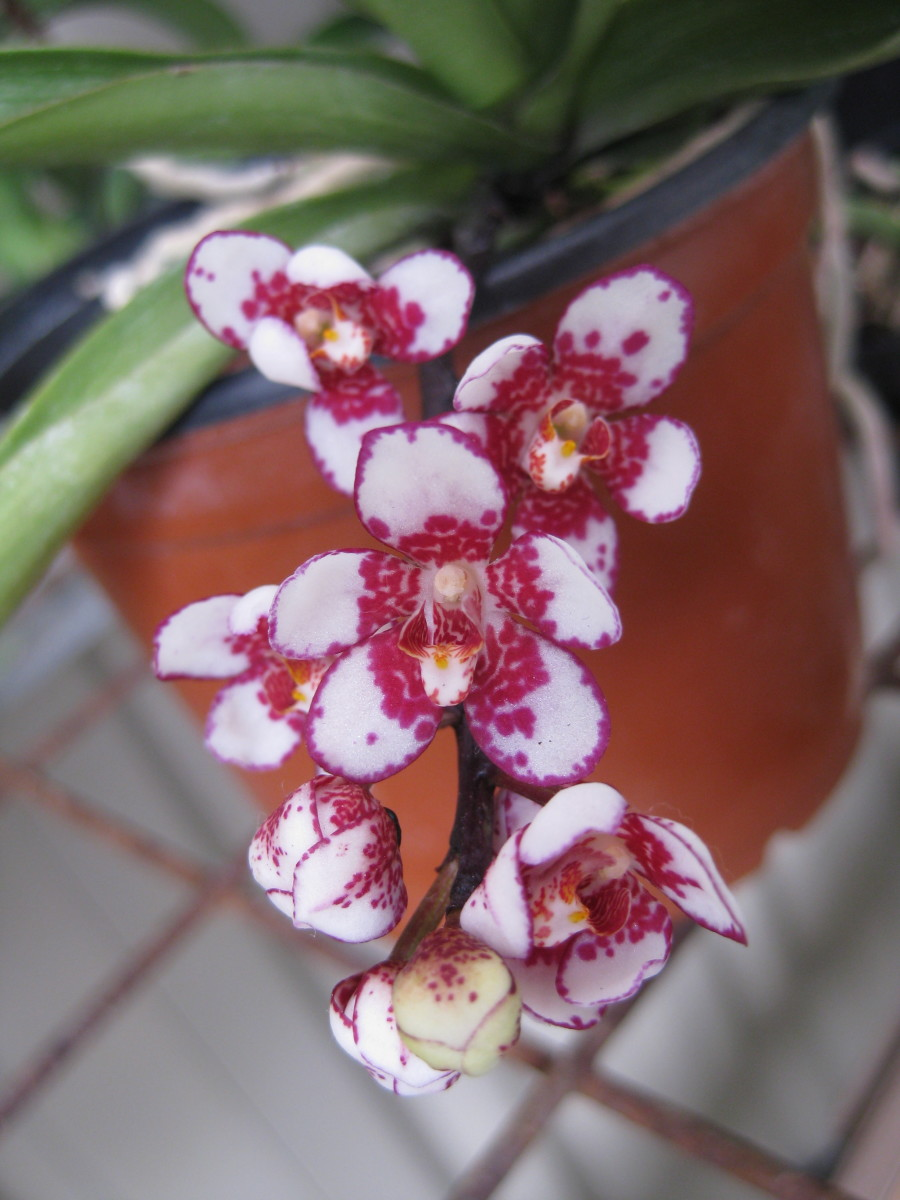 The Sarcochilus Orchid: Spectacular Flowering and Easy to Grow