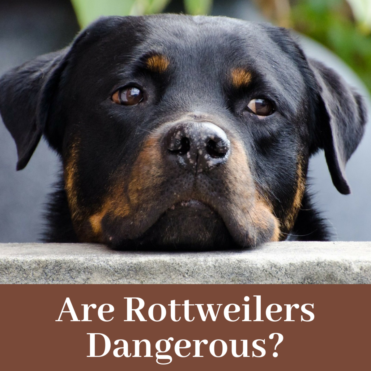 This article will break down whether rottweilers are inherently dangerous or if they are merely victims of bad owners and bad publicity.