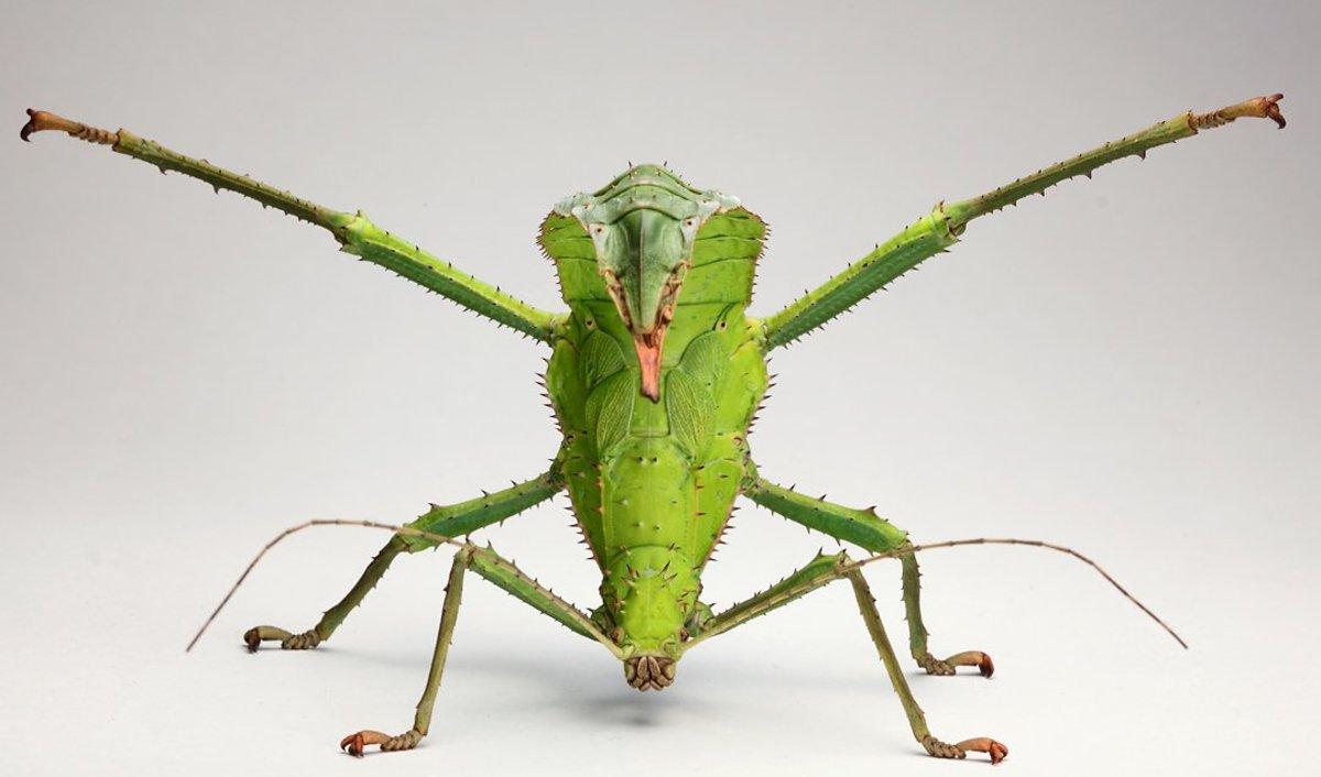 Heteropteryx dilatata female