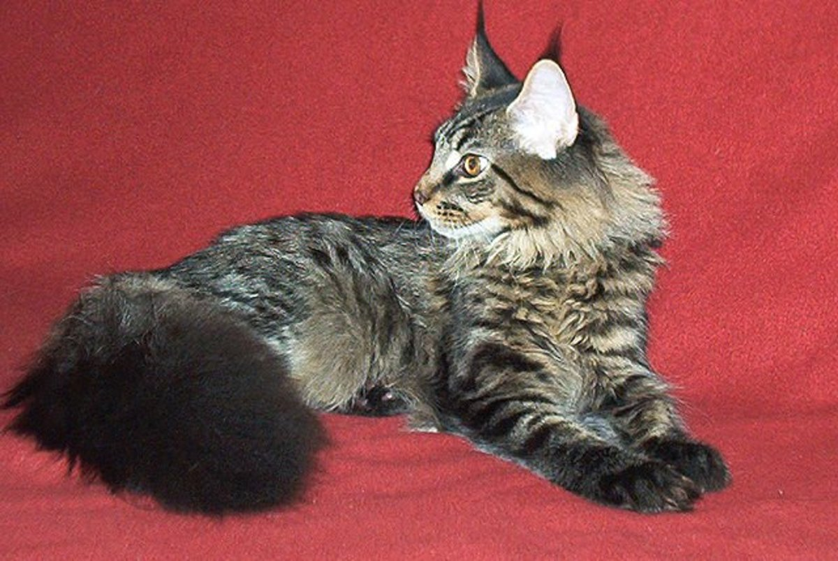 Maine Coon Cats: Health Problems Owners Must Know About