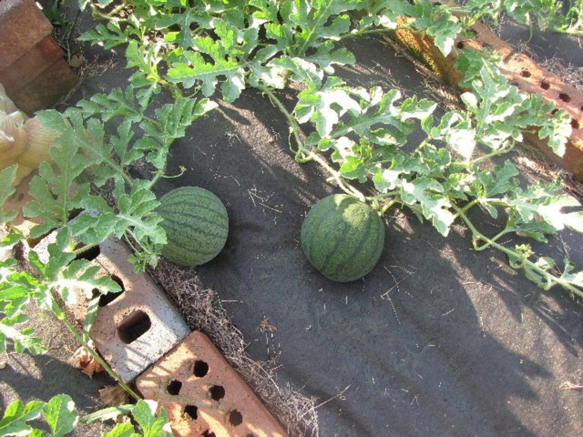 My Home-Grown Seedless Watermelons