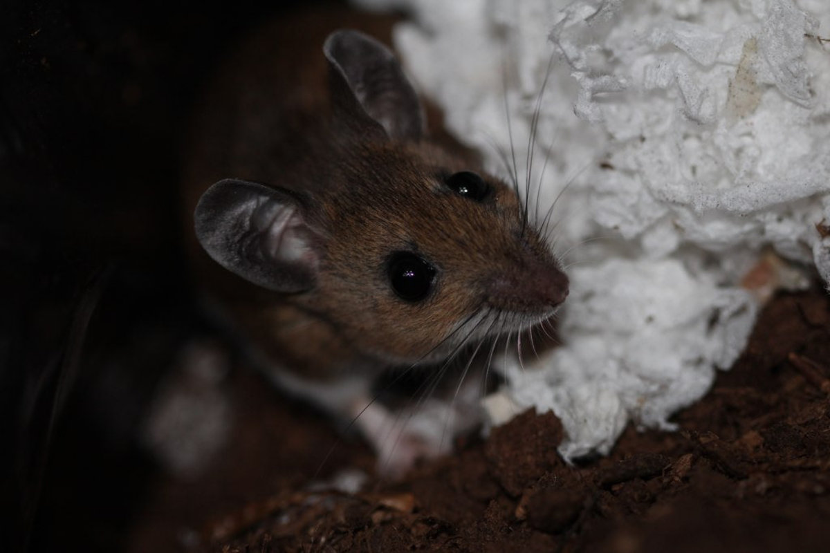 A mouse building a nest in someone's home.