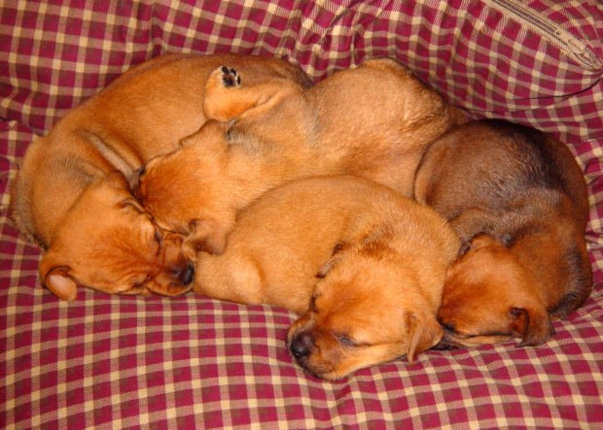 Determining litter size in dogs