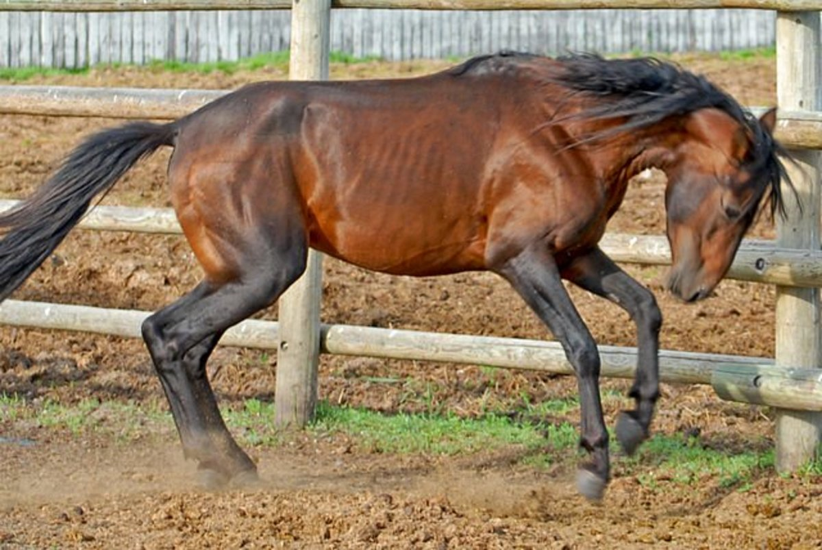 Rare Horse Breeds: 4 of the World's Rarest Horses Breeds
