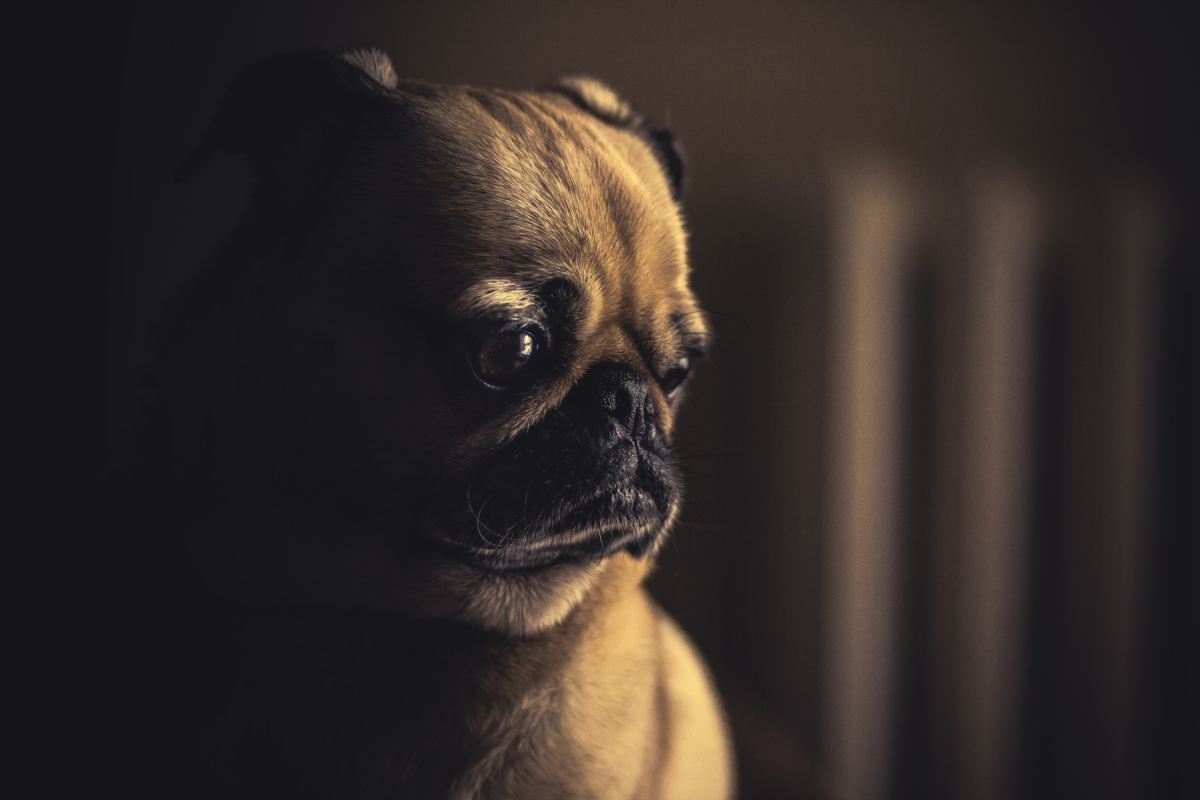 Is your dog suffering from IBD? Find out what a vet recommends.