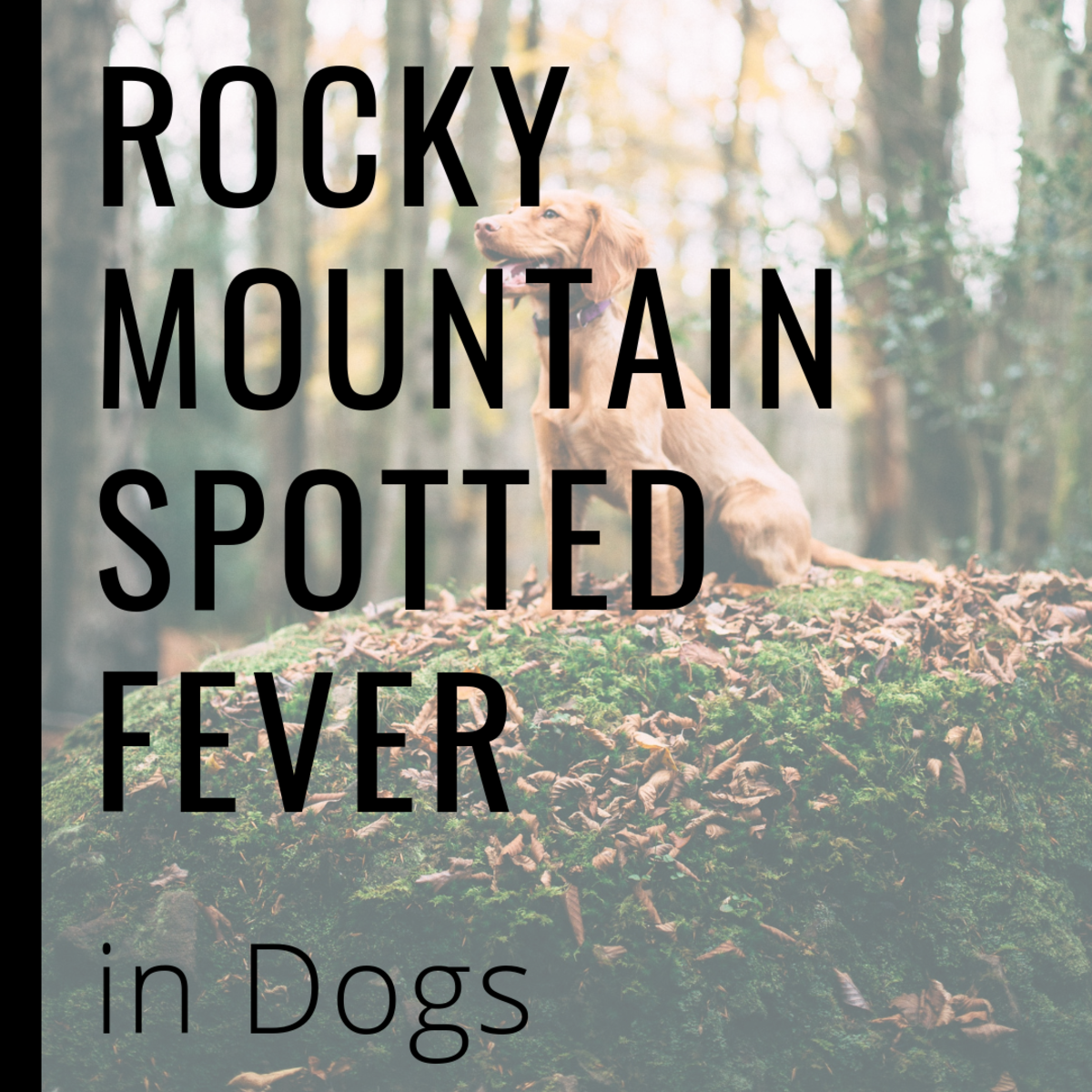 Rocky Mountain Fever in Dogs: Causes, Symptoms, and Treatment