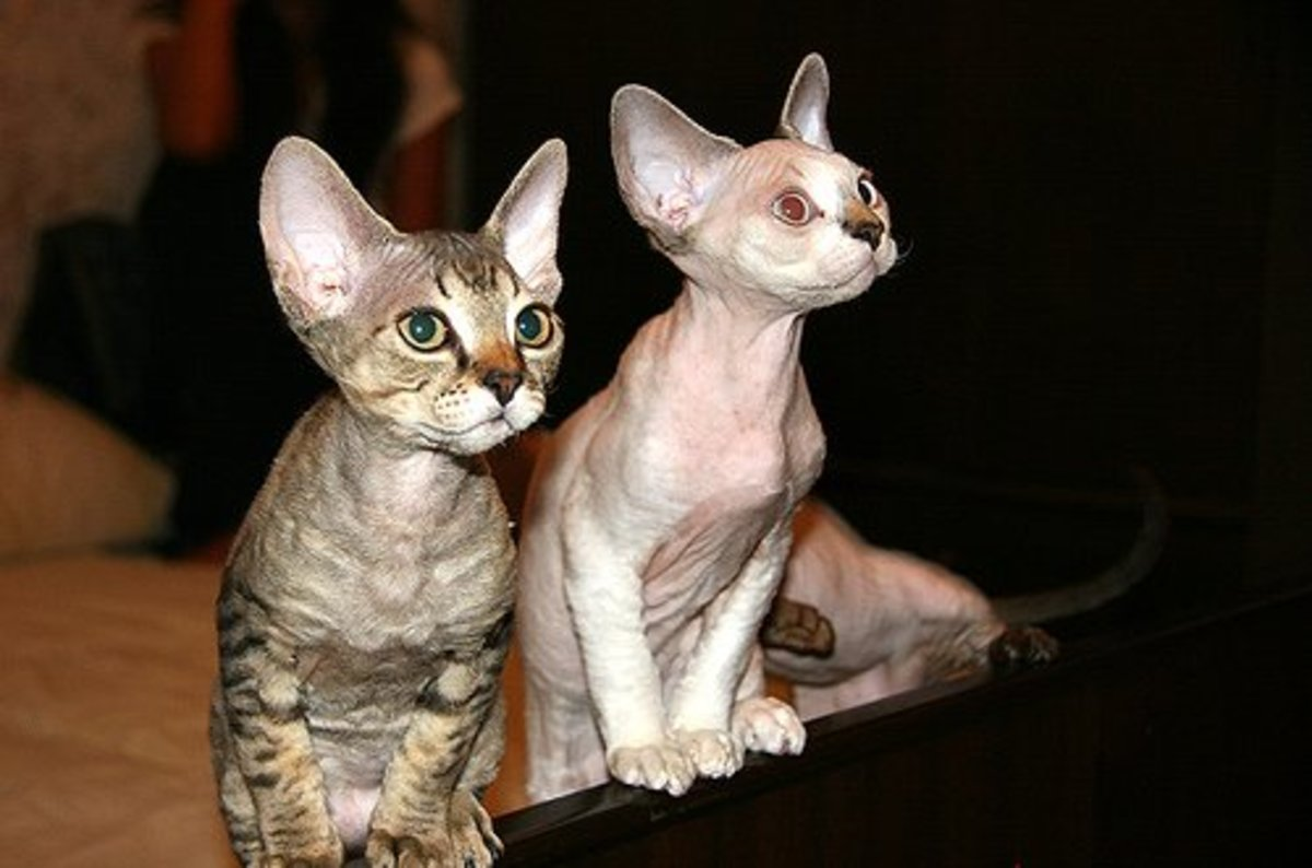 The eerie, otherworldly looking ears are a signature characteristic of Devon Rex cats.