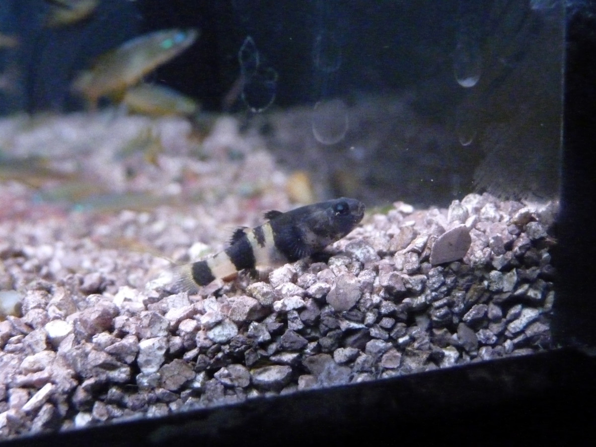 Caring for the freshwater bumblebee goby pethelpful for Freshwater goby fish