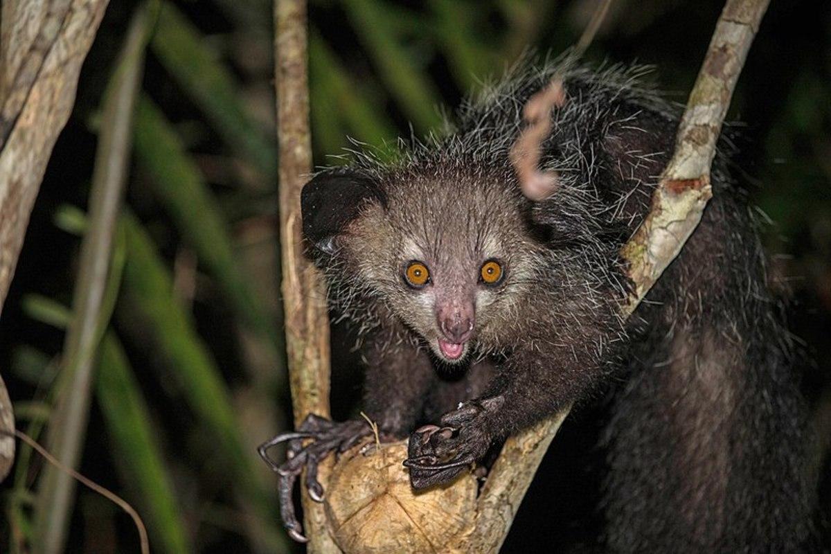 A wild aye-aye sits on a tree.