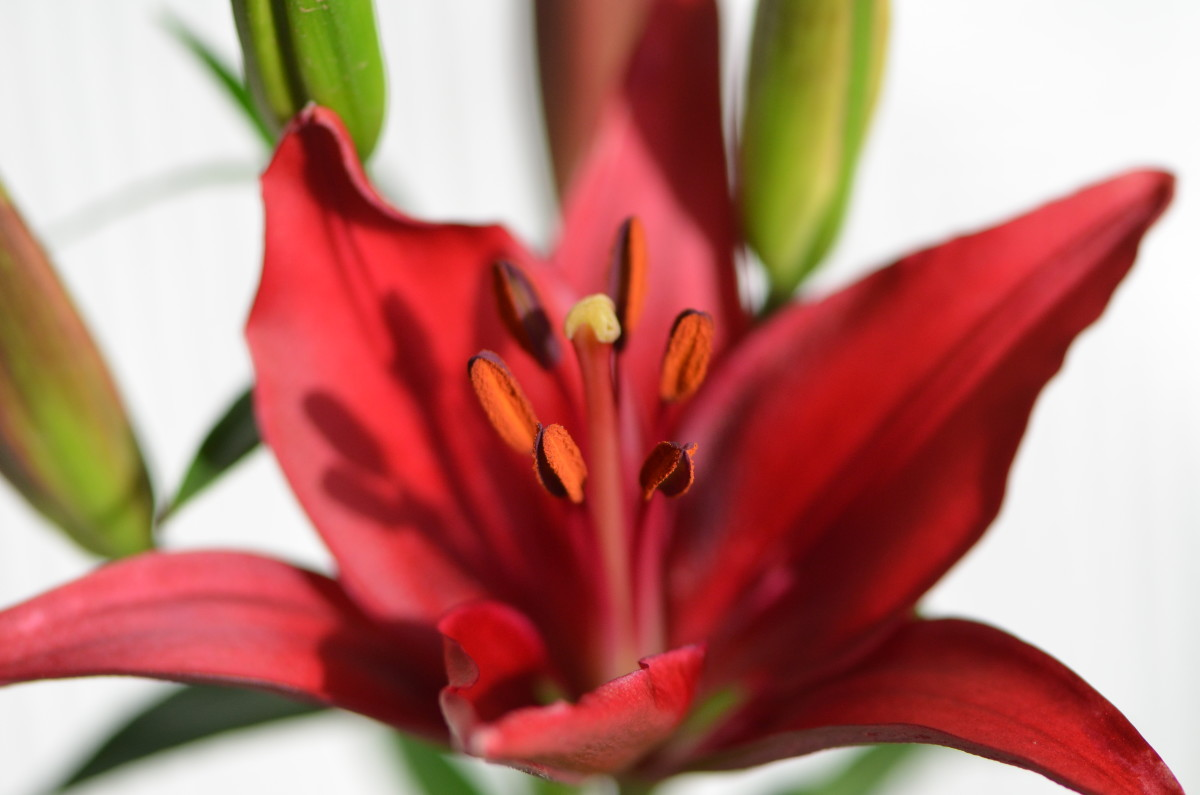 Red lilies are always a knock out!  The red against its contrasting color of green will always be an amazing color combination in the garden.