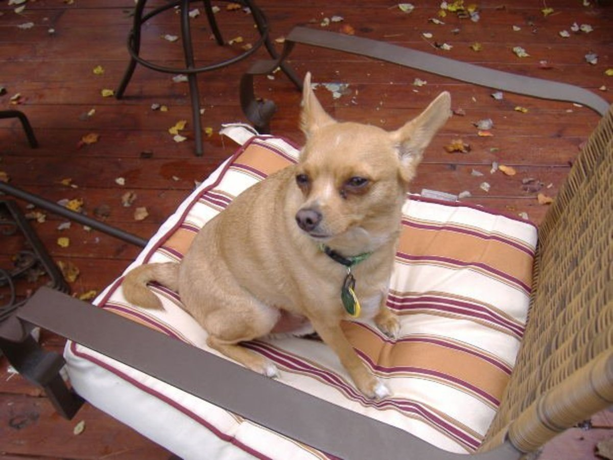 The Chihuahua Heat Cycle: Breeding Considerations and Risks