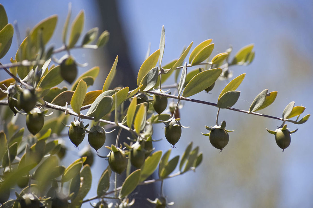 What Are 10 Uses for Jojoba Oil?