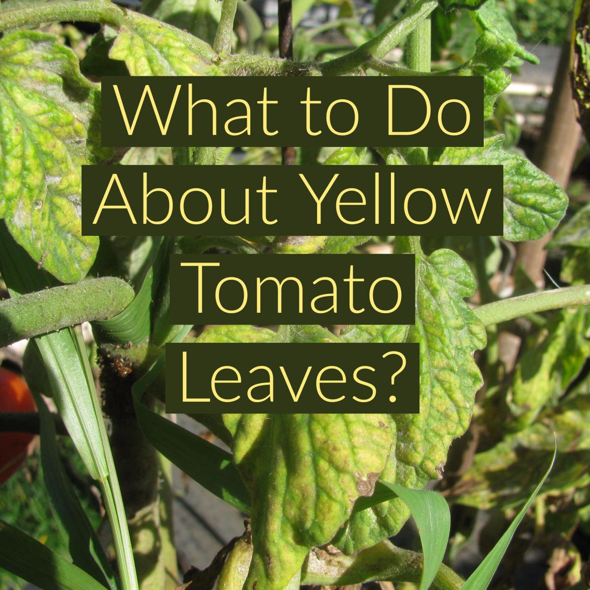 Yellow leaves on tomato plants