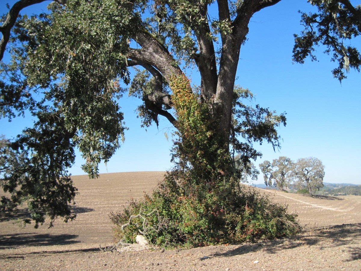 Poison oak and oaks are often found together. You can see poison oak at the base and climbing the trunk of this white oak tree in Paso Robles, California.