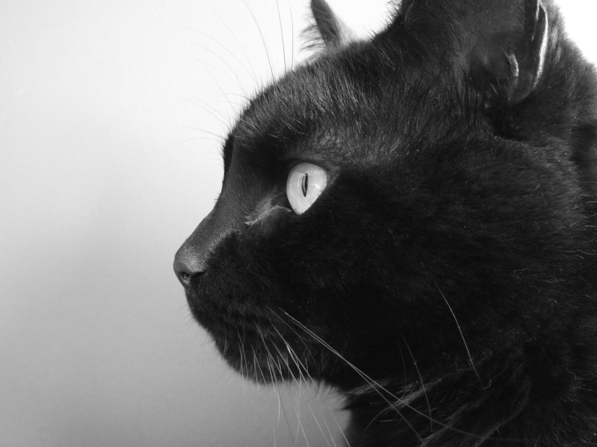 The black cat is often depicted as a symbol of evil, Halloween, superstition, and witches.