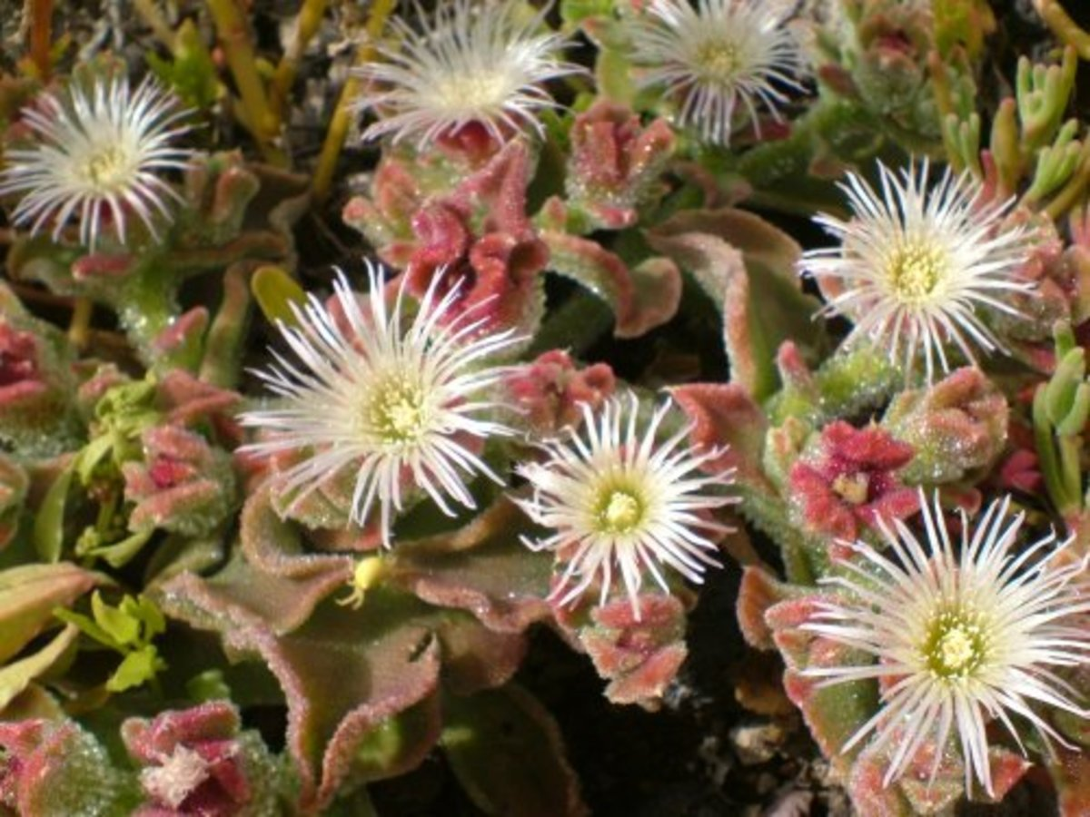 Ice Plant in flower Photo by Steve Andrews