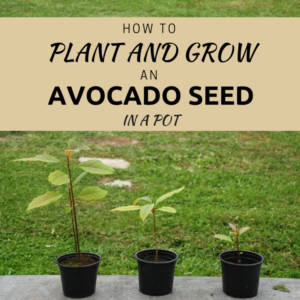 Avocado plants grown from seed in a pot can make great indoor plants.
