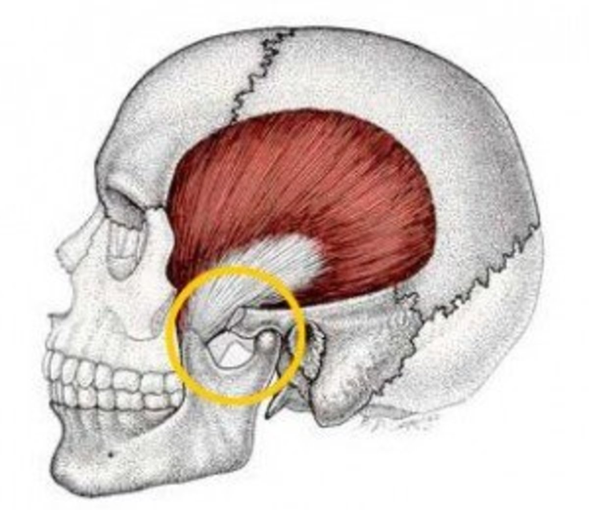 The Temporomandibular Joint
