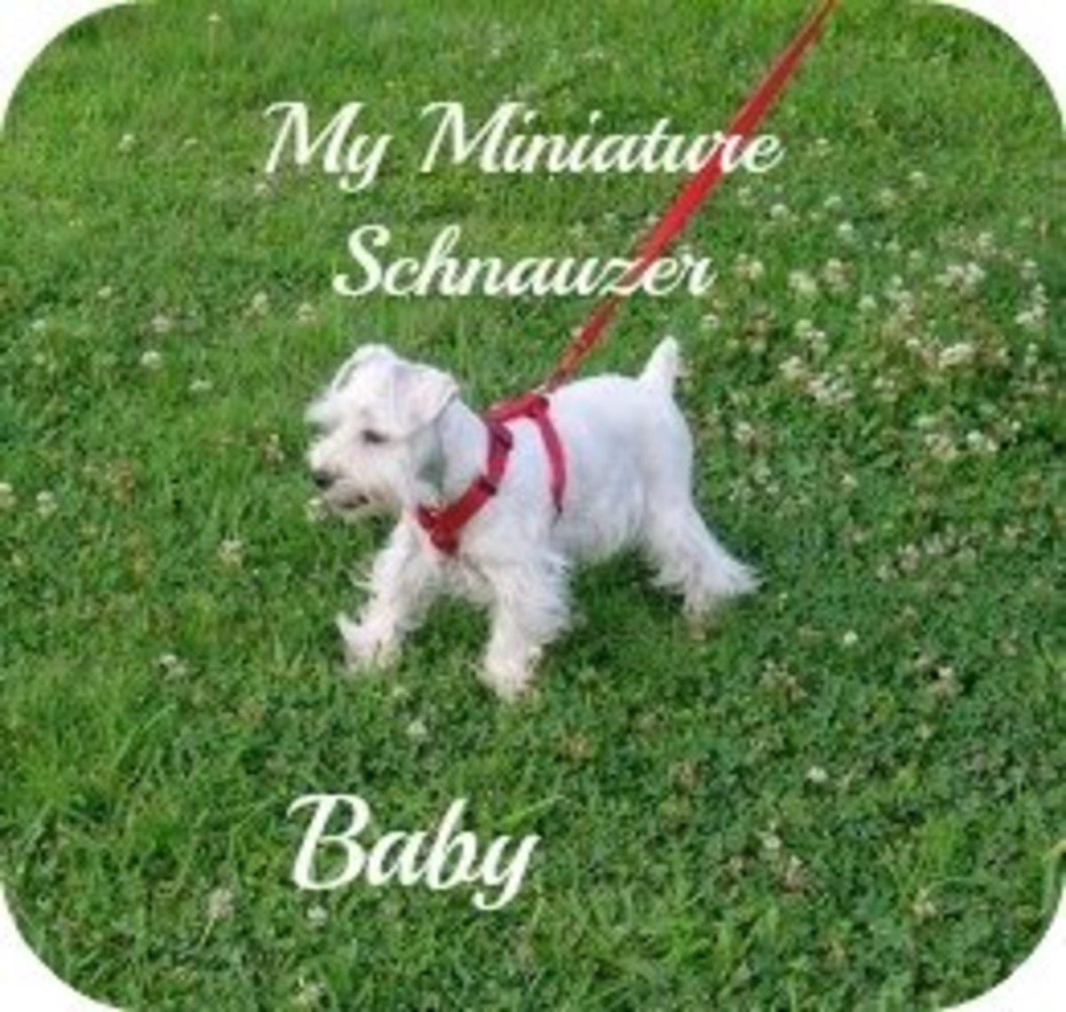 My Miniature Schnauzer Has Canine Intervertebral Disc Disease