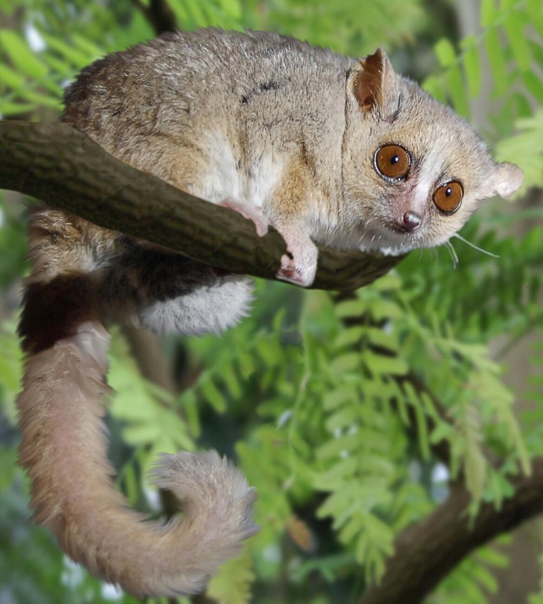 Mouse Lemurs: Tiny and Endangered Primates of Madagascar