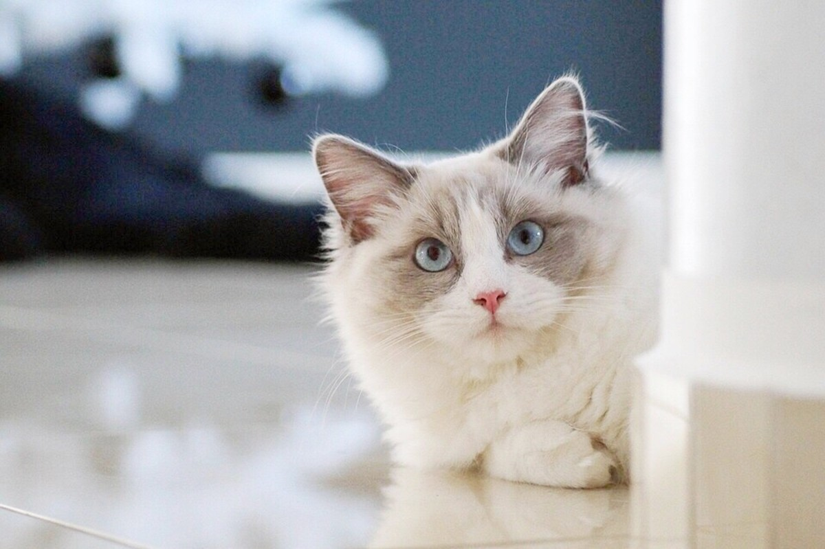 A young ragdoll cat