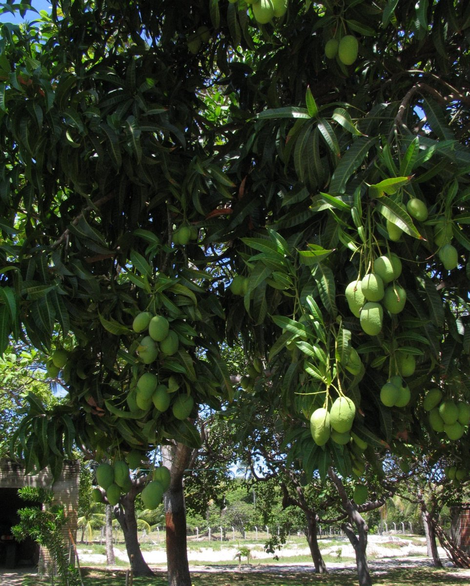 Too Many Mangoes? Ideas to Help You Use Them