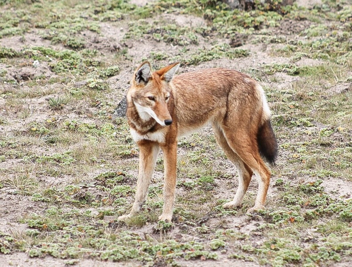 The Endangered Ethiopian Wolf: Life, Threats, and Conservation