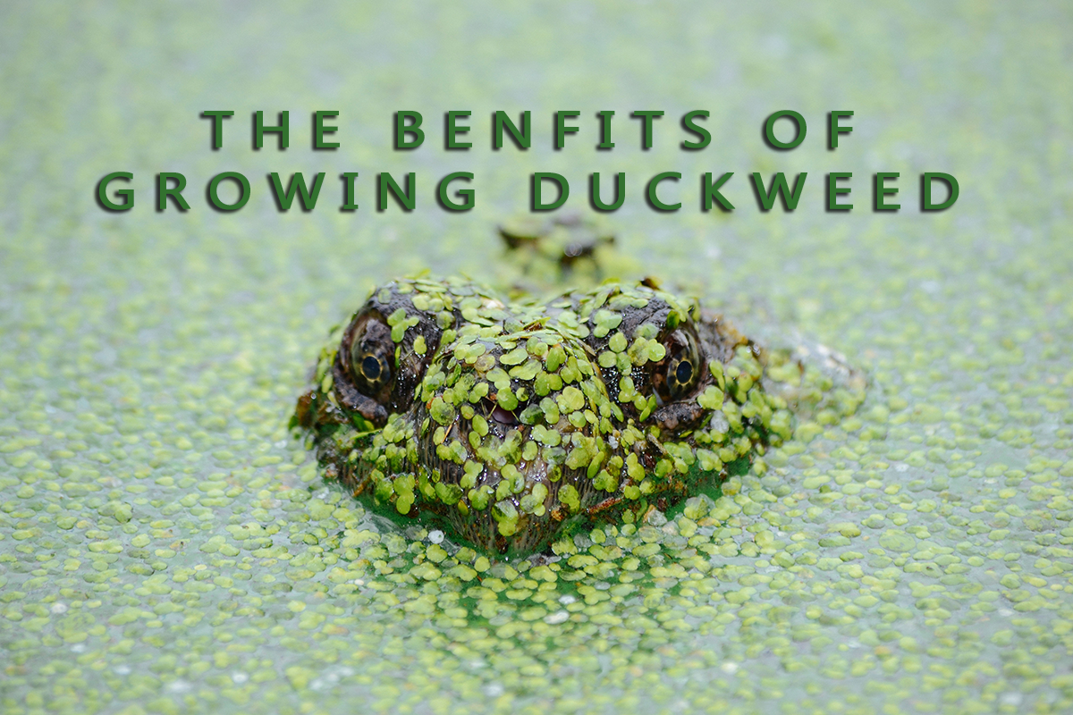 Growing Duckweed