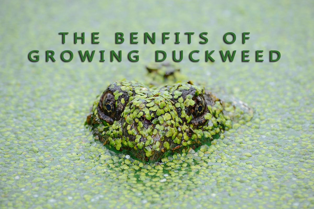 The Benefits of Growing Duckweed