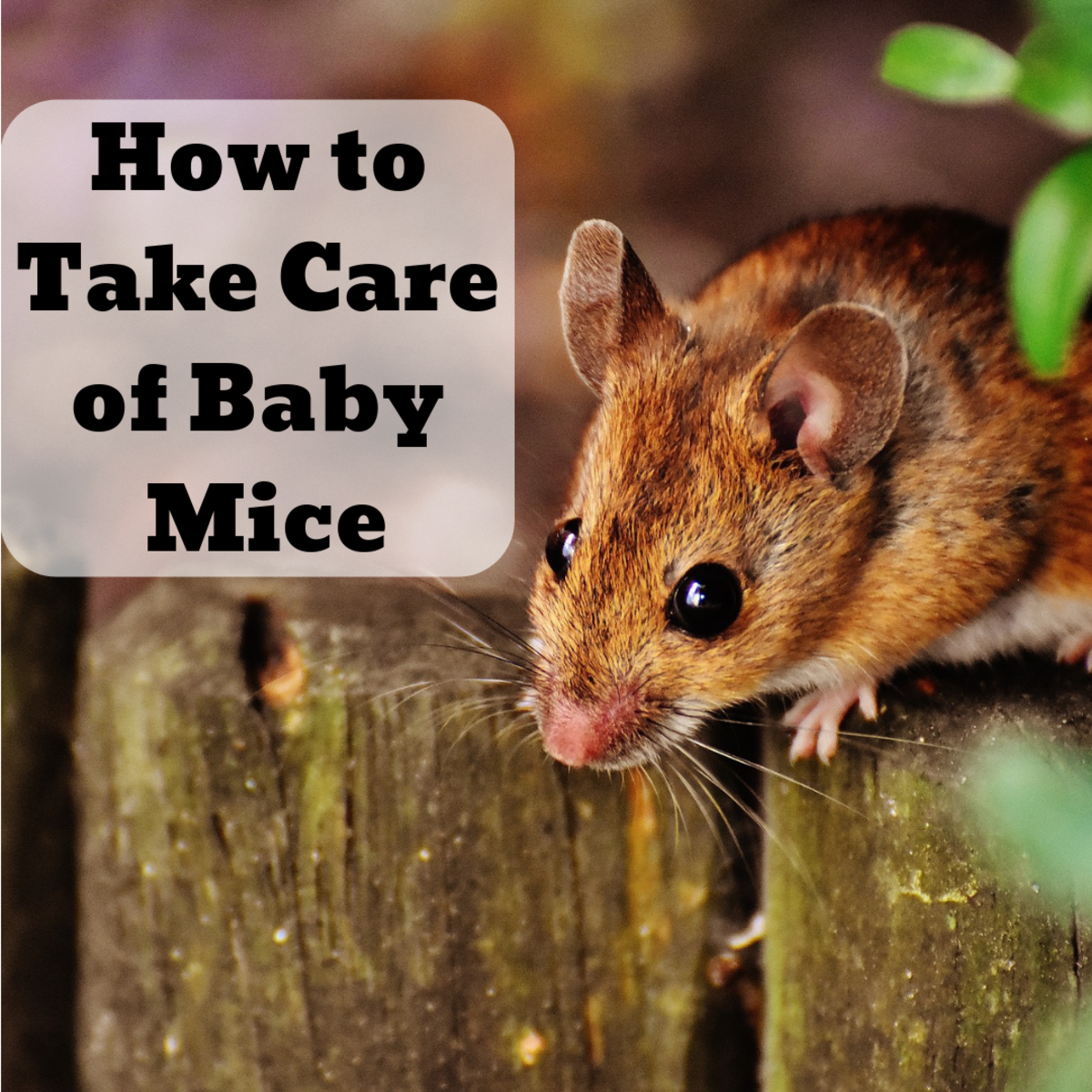 how to care for baby mice