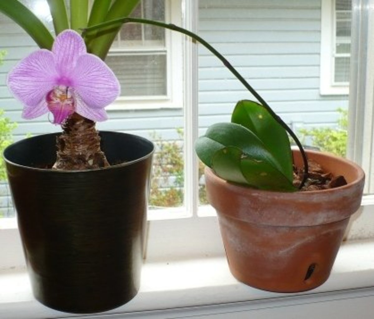 Caring for Phalaenopsis Orchids, for the Absolute Beginner or the Hopelessly Confused