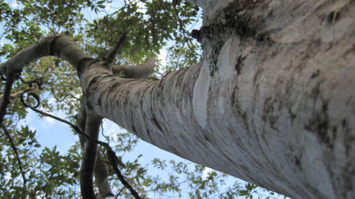 Looking into the canopy of Alphitonia excelsa, the Red Ash or Soap Tree.