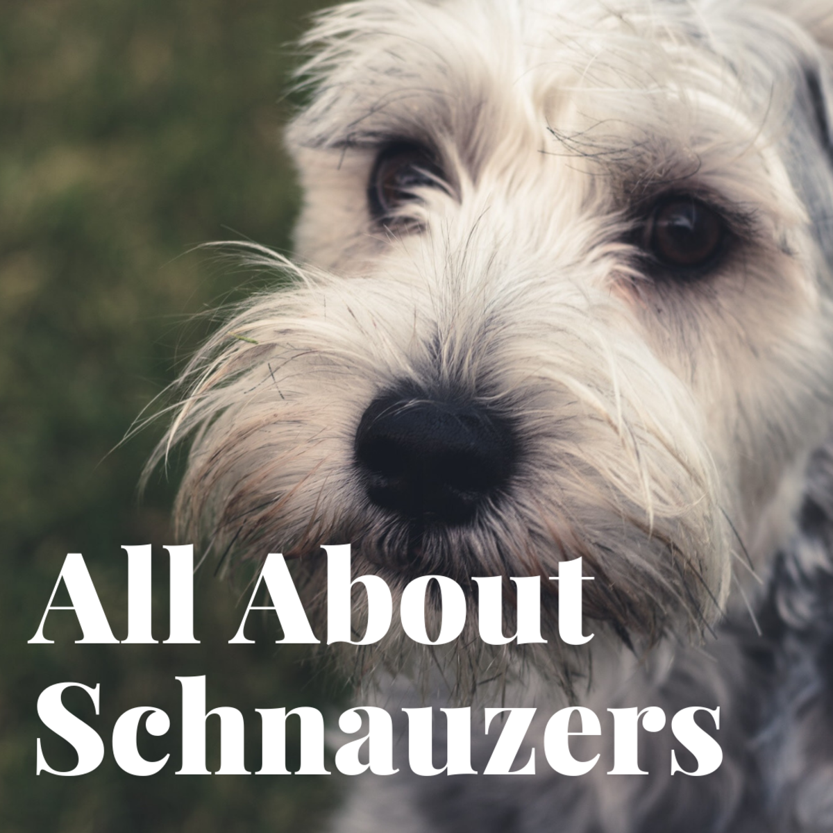 All About the Schnauzer Breeds