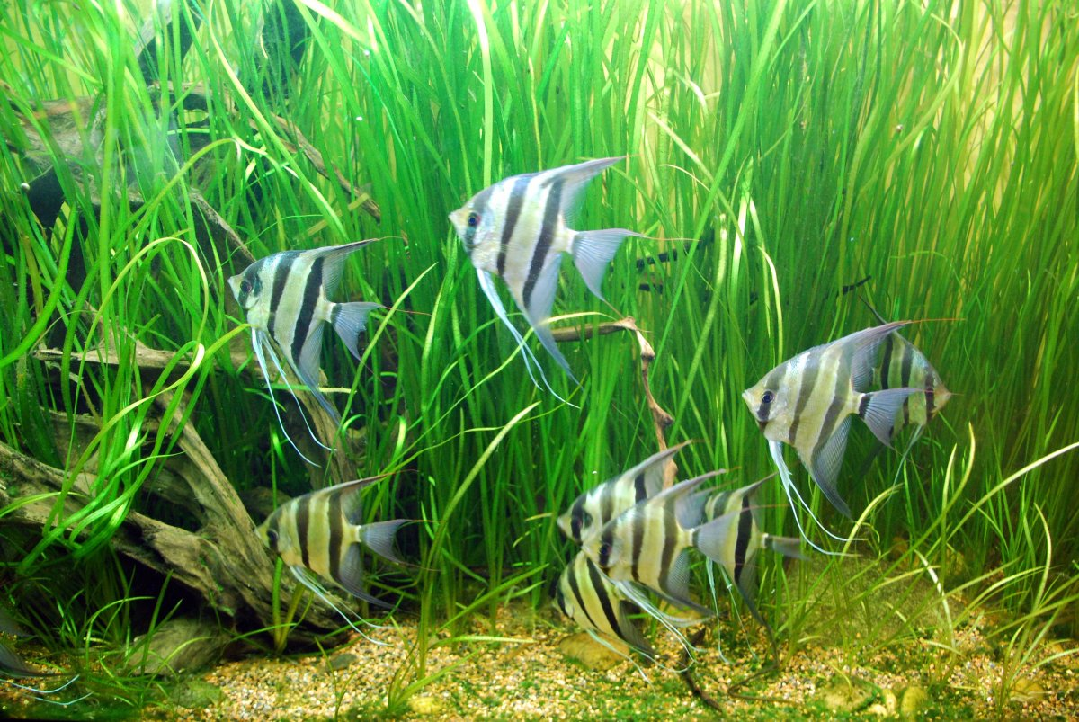 Selective Breeding and Genetics for Angelfish