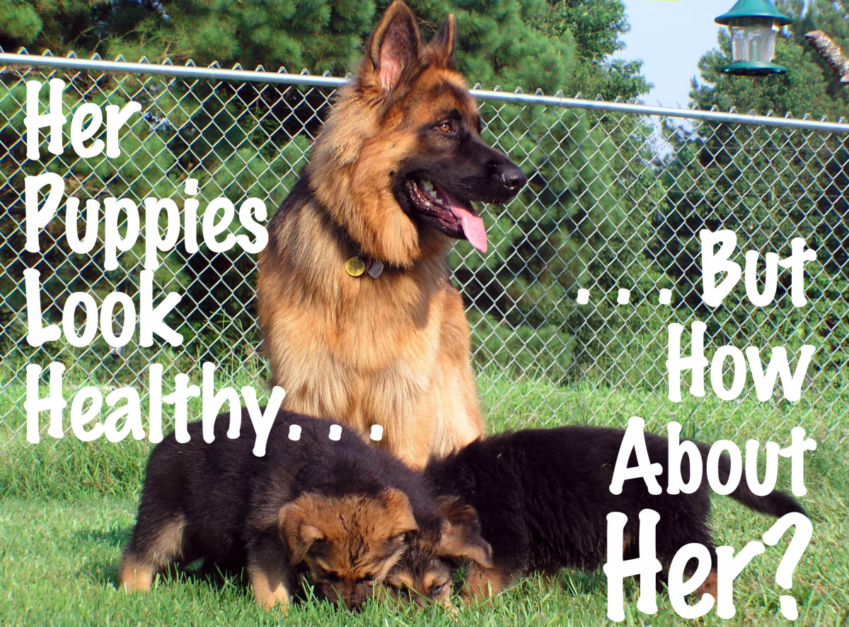 Dog Health: Common Complications in Dogs After Giving Birth