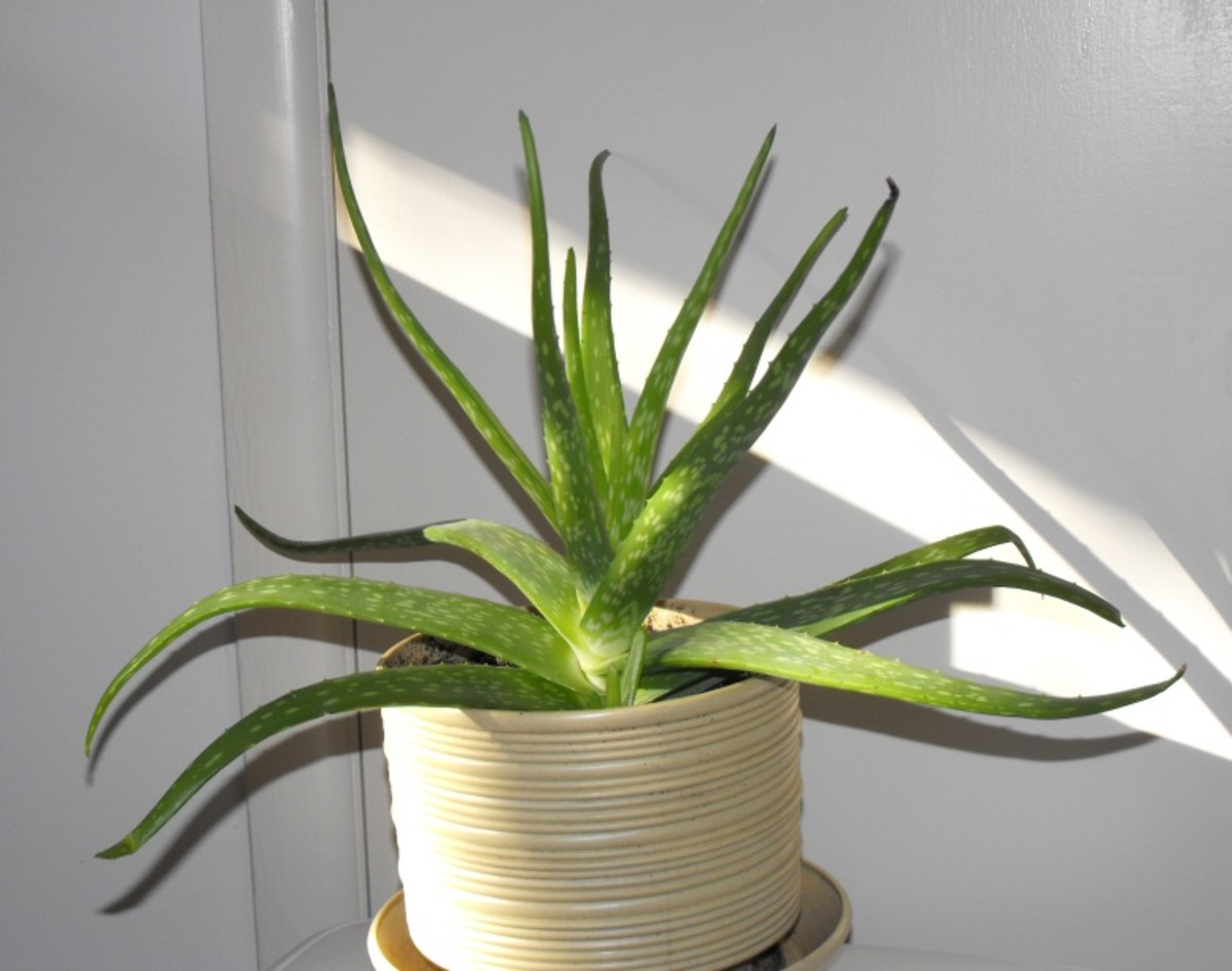 The Magic of the Aloe Vera Plant; Help for Treatment of Minor Burns