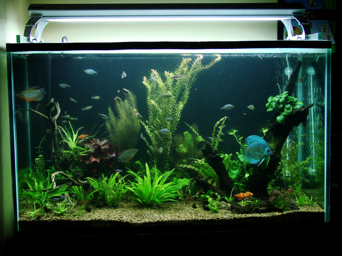 How To Choose Compatible Fish For Your Community Aquarium Pethelpful
