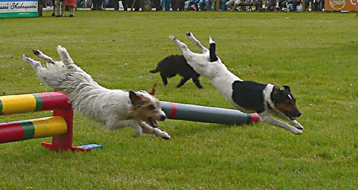 Five Best Powerfully Active Dog Breeds