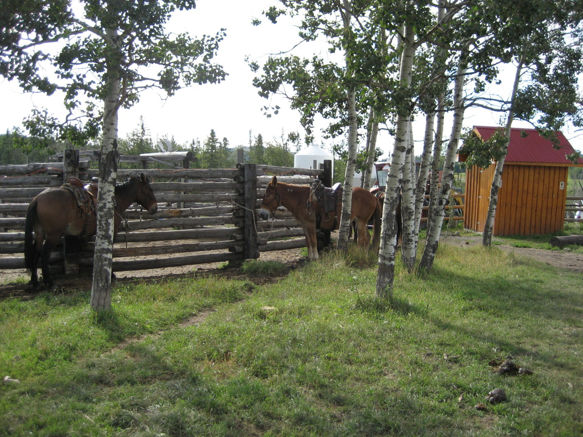 Picketed mules waiting to go.