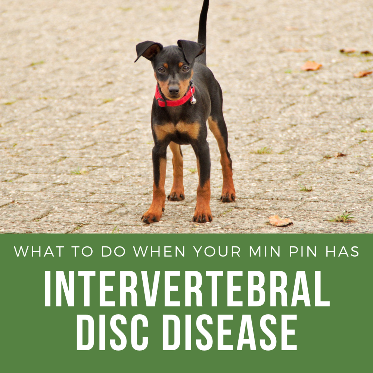 Does Your Min Pin Have Intervertebral Disc Disease?