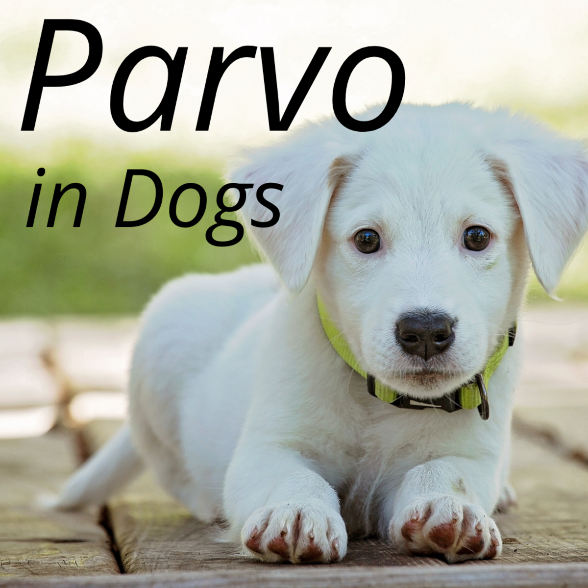 Canine Parvovirus: FAQs and Common Misconceptions