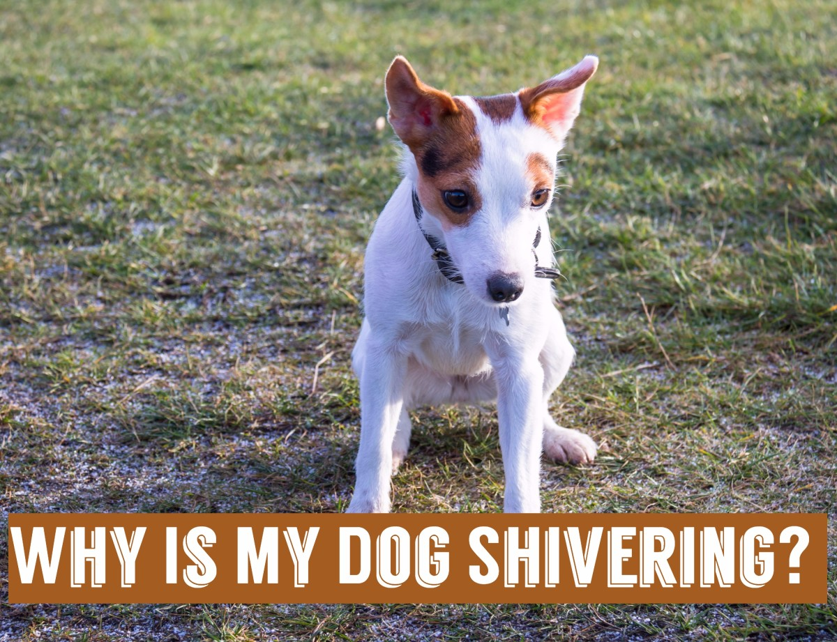 Shaking dog