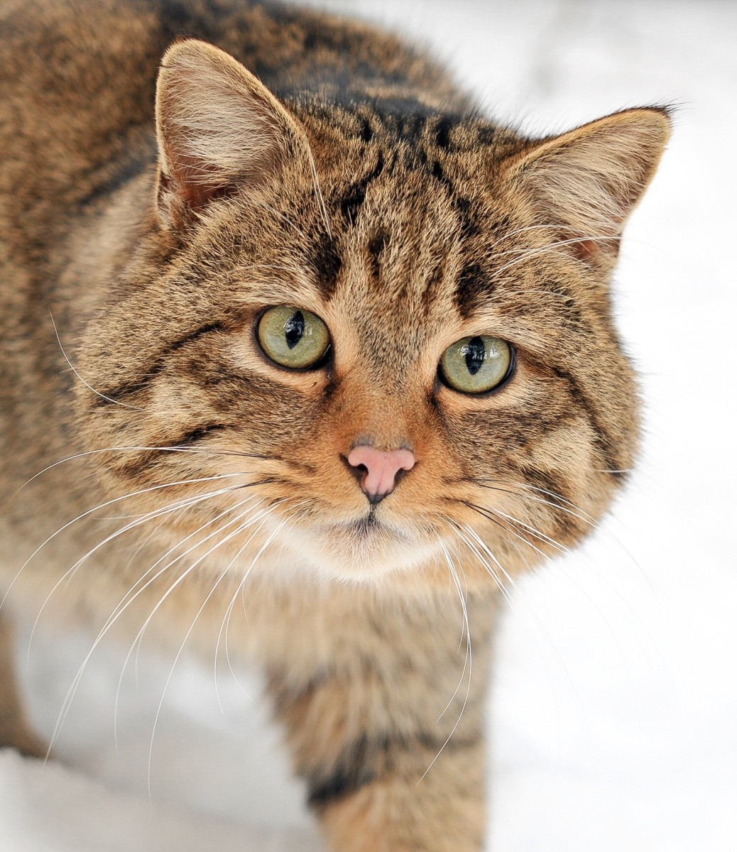 A European wildcat, which belongs to the same species as the Scottish wildcat and is sometimes classified in the same subspecies as well
