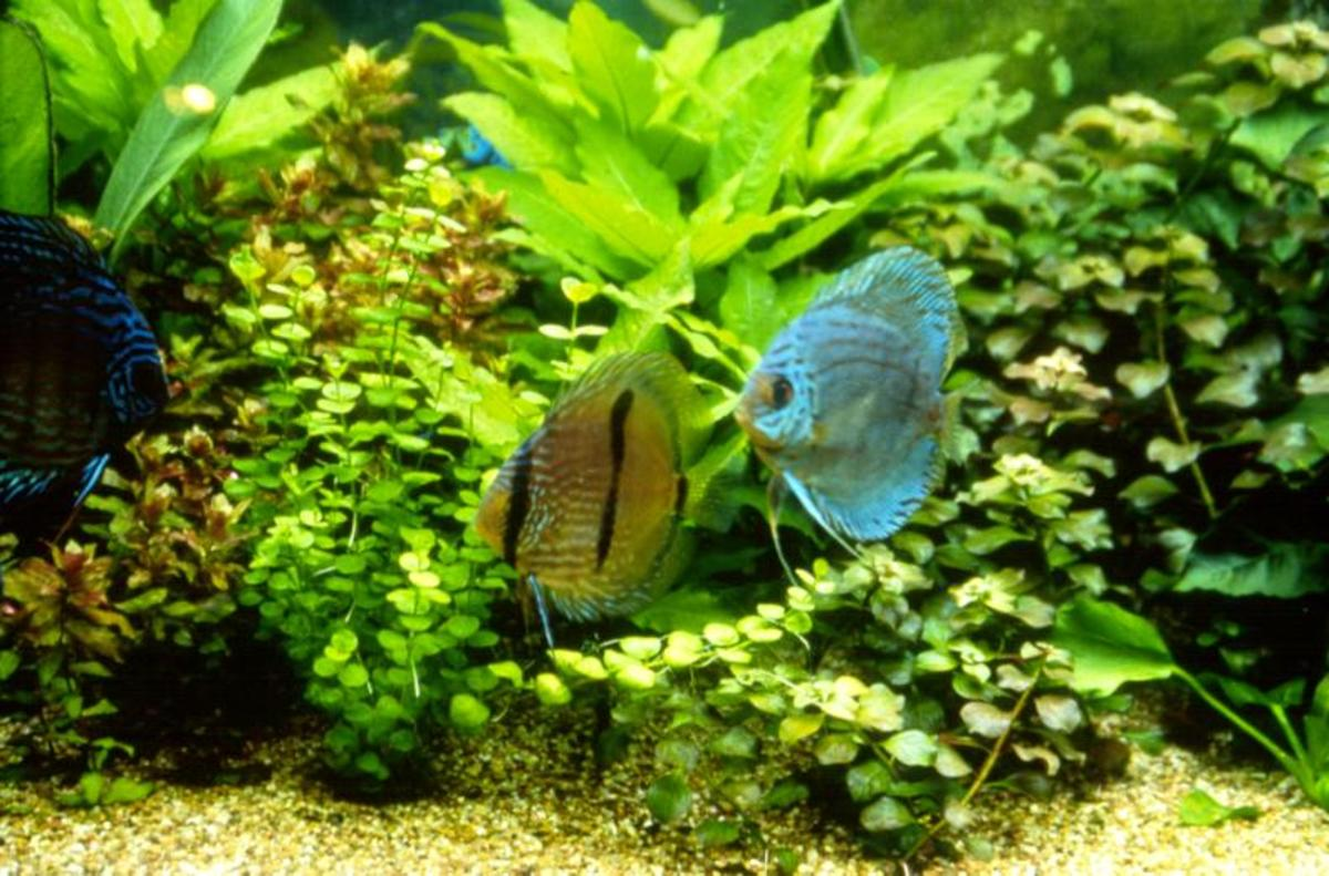 The Right Clean up Critters for Your Fish Tank Aquarium