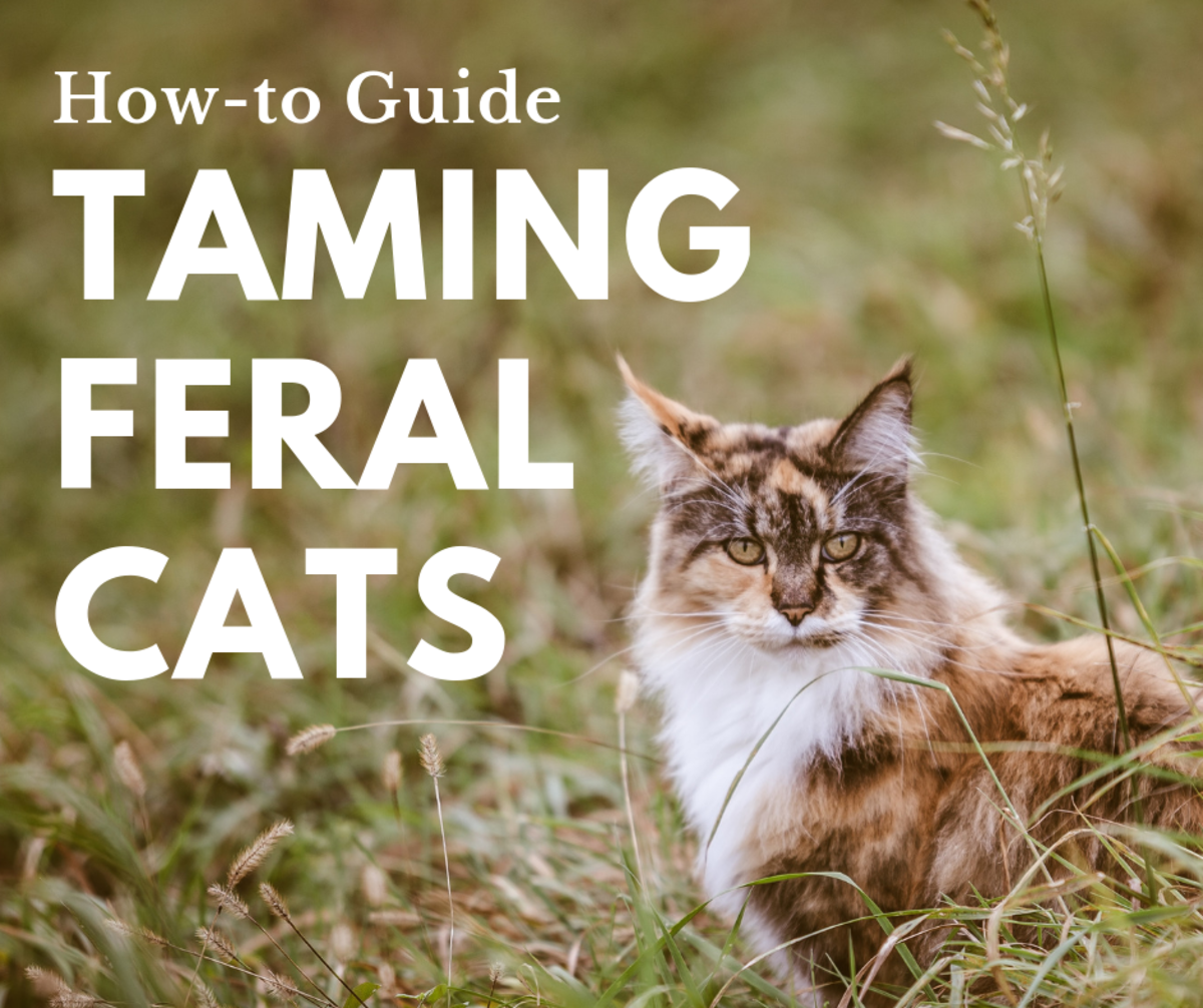 Taming a wild cat is certainly possible, though every cat is different. Learn how by reading about my own personal experience!
