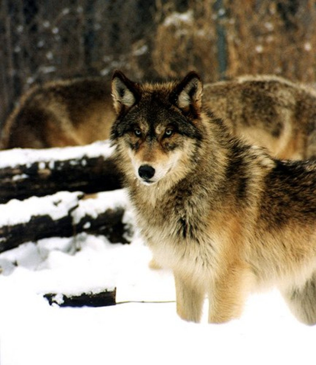 How to Keep Coyotes, Foxes, and Wolves out of Your Yard and