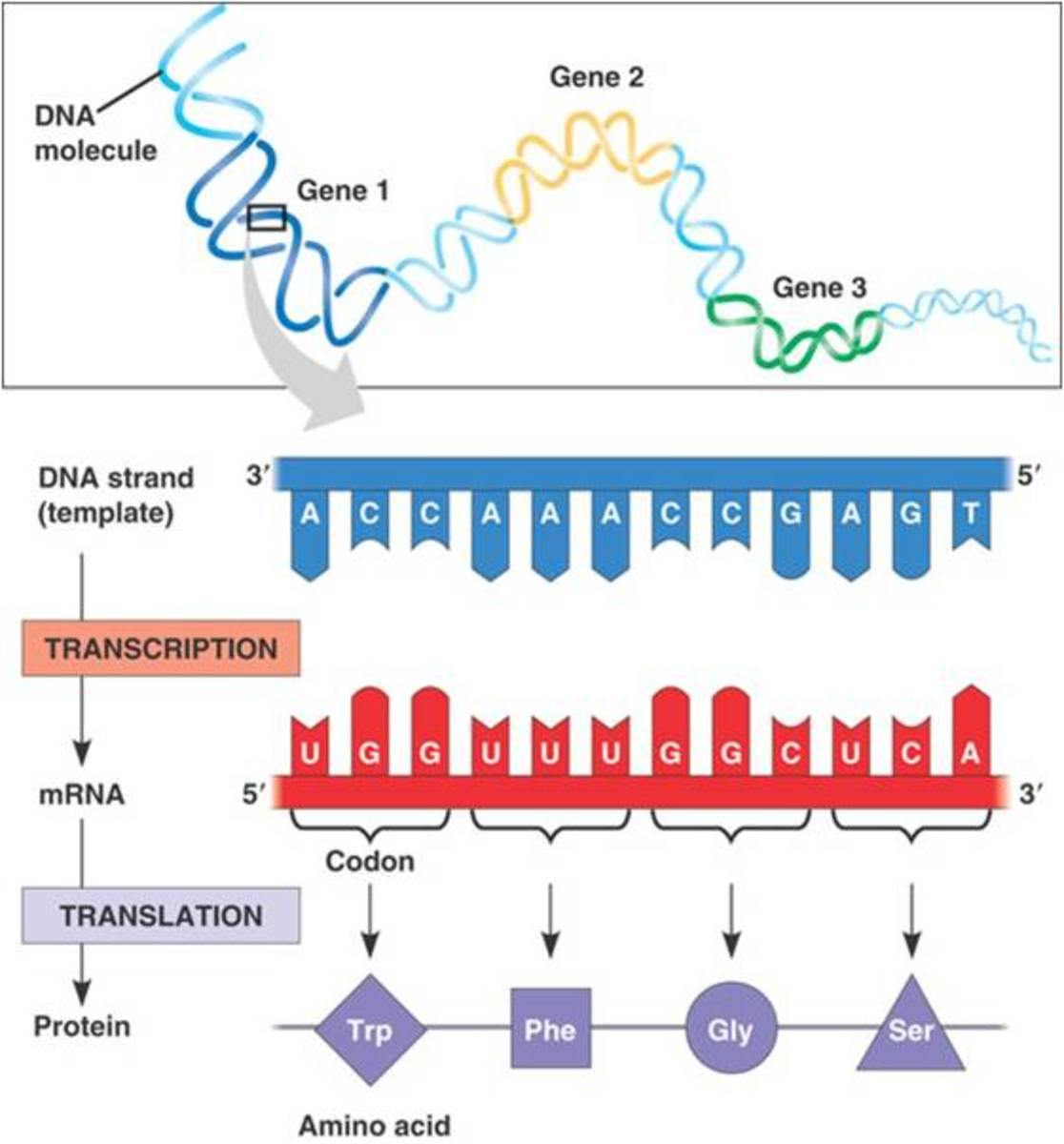 Dna translation summary